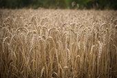 Moisson de blé en Seine-et-Marne.